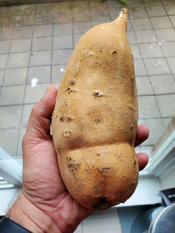 Very large sweet potato